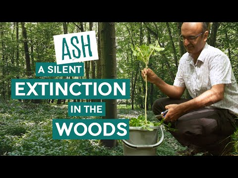 Ash – a Silent Extinction in the Woods | Wytham Woods